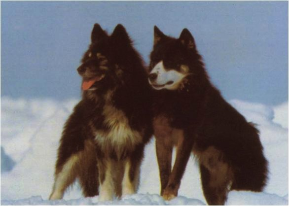 Sakhalin husky dogs wallpaper