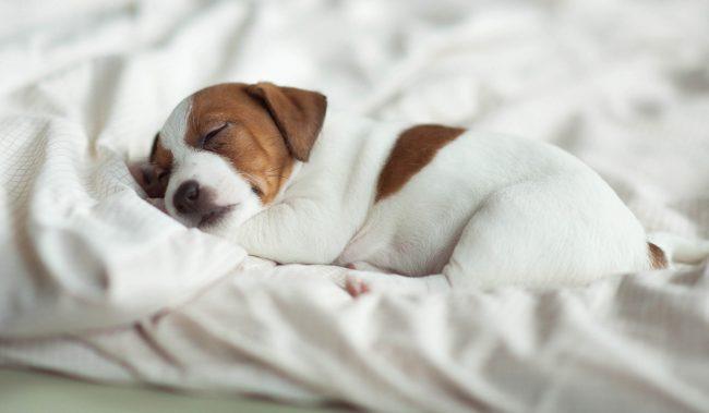 Resultado de imagen para Jack Russell Terrier 眠る