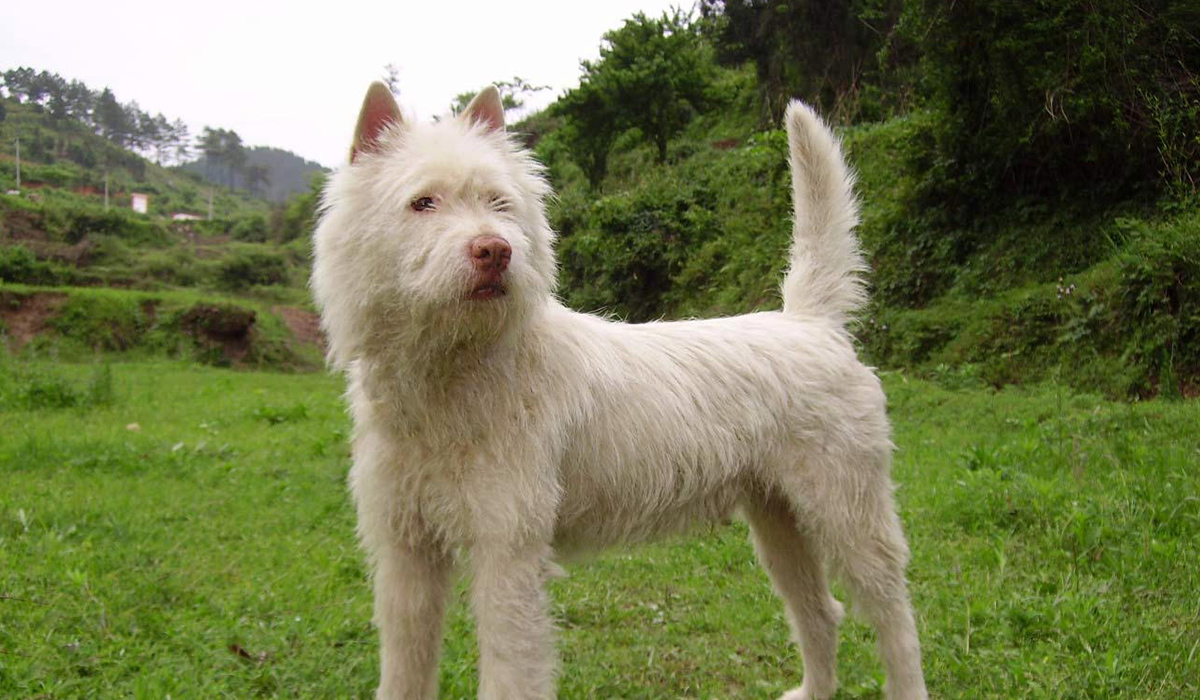 中国原産の10犬種